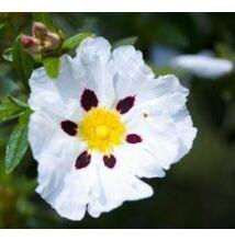 Balzsamos szuhar virágvíz (hidrolátum) bio 100 ml